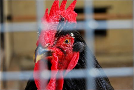 Caged Rooster. (licensed stock photo)